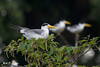 _MG_3949  terns