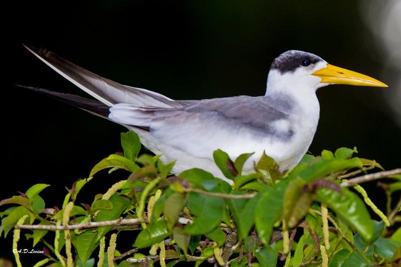 _MG_0758 yellow billed tern