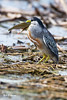 _MG_0649 striated heron