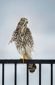 6-Cooper's Hawk
