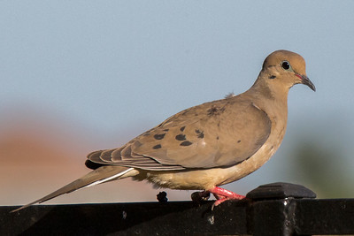 14-Mourning Dove