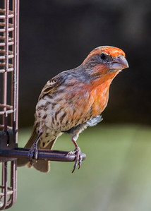 3-House Finch