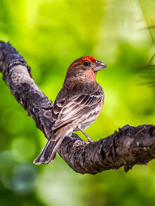 4-House Finch