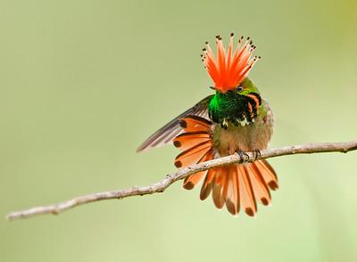 Rufous-crested Coquette (Lophornis delattrei)