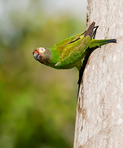 Dusky-headed Parakeet (Aratinga weddellii)