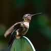 RUBY THROATED HUMMINGBIRD (MALE)