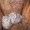 EASTERN SCREECH OWL CHICKS