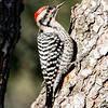 LADDER-BACKED WOODPECKER (MALE)