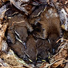 BEWICK'S WREN CHICKS