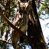 EASTERN SCREECH OWL ADULT