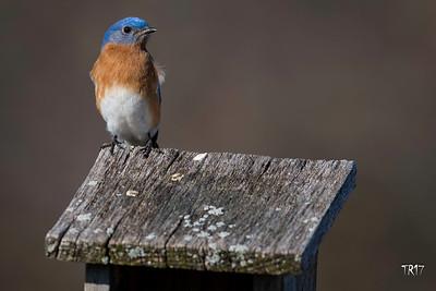 EASTERN BLUEBIRD - LONG ISLAND