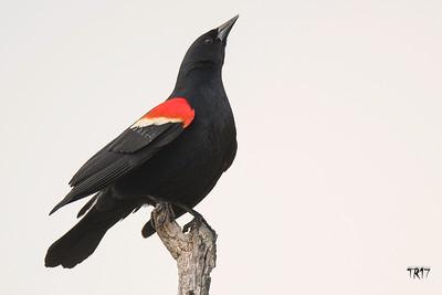 RED WINGED BLACKBIRD - OCEANSIDE