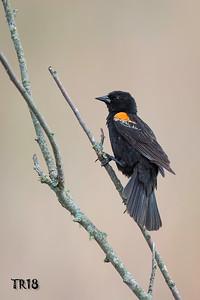 RED WINGED BLACKBIRD - CALVERTON