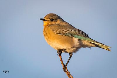MOUNTAIN BLUEBIRD - ROBERT MOSES