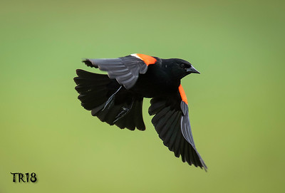 RED WINGED BLACKBIRD - COLD SPRING HARBOR