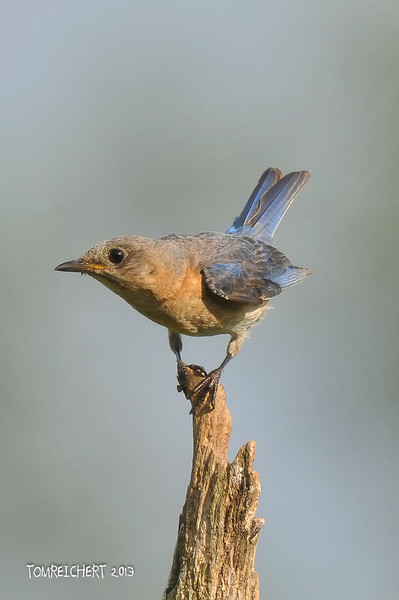 BLUEBIRDS ,BLACKBIRDS , ORIOLES AND RAVENS