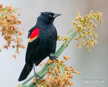 RED WINGED BLACKBIRD - VIERA