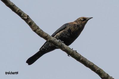 RUSTY BLACKBIRD - FORT SALONGA
