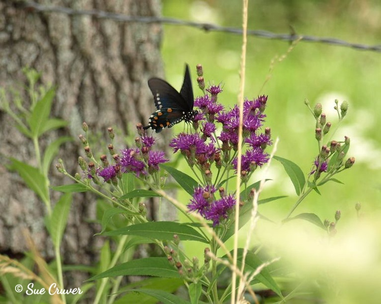 Swallowtail in the Wild