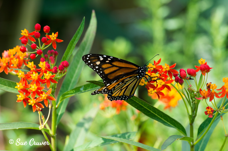 Monarch Butterfly and Milkweed Flower