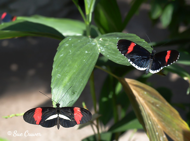 Black and Red Duo