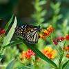 Monarch Feasting