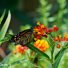 Monarch on Milkweed