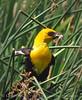 Yellow-headed blackbird male, Bear River NWR UT (7)