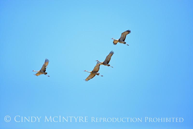 Sandhill cranes, Bear River NWR UT (1)