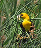 Yellow-headed blackbird male, Bear River NWR UT (8)