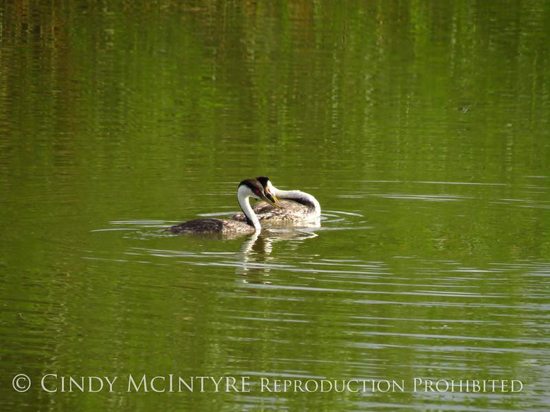 Western grebes flirting, Bear River NWR UT