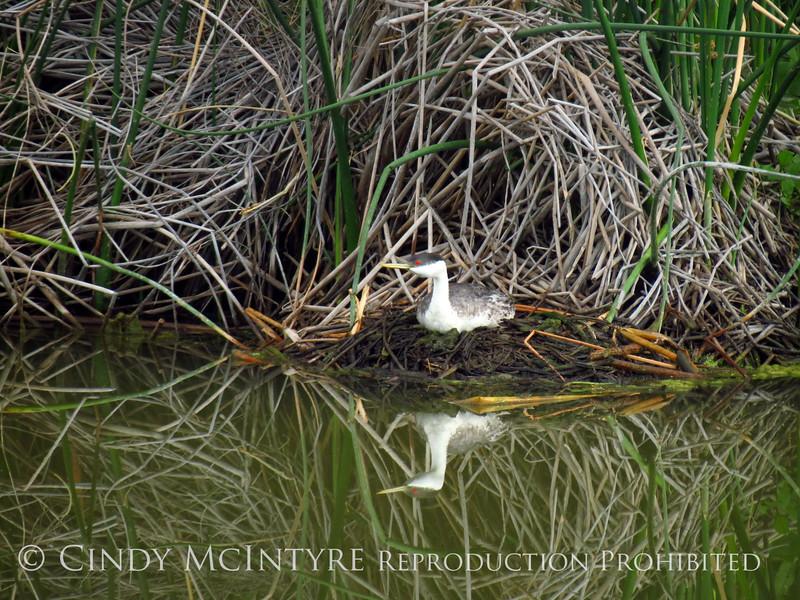Western grebe on nest, Bear River NWR UT (2)