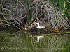 Western grebe on nest, Bear River NWR UT (2)