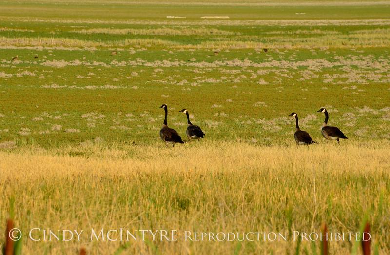 Canada geese, Bear River NWR UT (1)