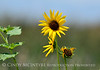 Prairie sunflower, Bear R NWR UT