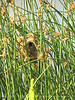 Marsh wren nest, Bear River NWR UT (2)