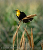 Yellow-headed blackbird male, Bear R NWR UT (1)