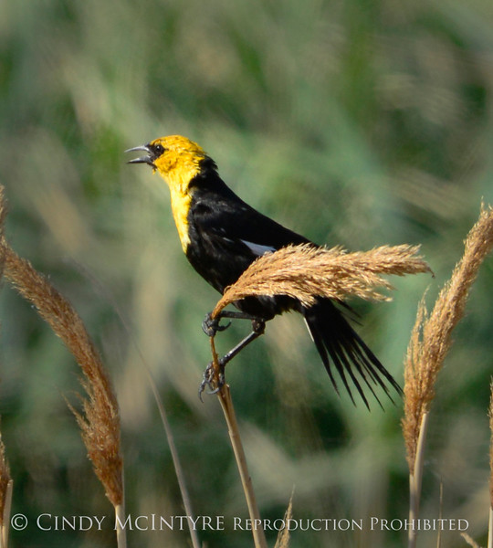 Yellow-headed blackbird male, Bear R NWR UT (2)