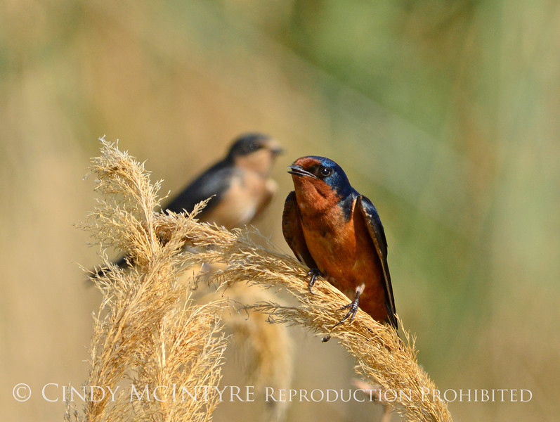 Barn Swallow, Bear River NWR UT 4 (2)