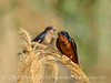 Barn Swallow, Bear River NWR UT 4 (2)