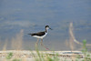 Black-necked stilt, Bear R NWR UT (3)
