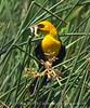 Yellow-headed blackbird male, Bear River NWR UT (10)