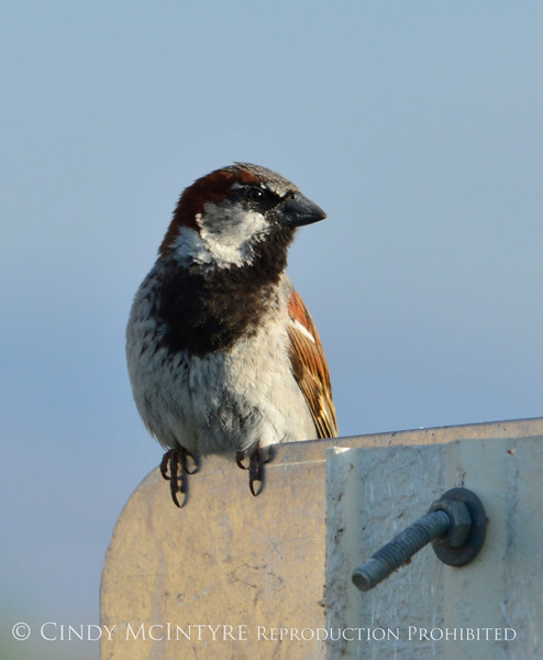 House sparrow male, Bear River NWR UT
