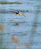 Avocet, Bear River NWR UT (2)