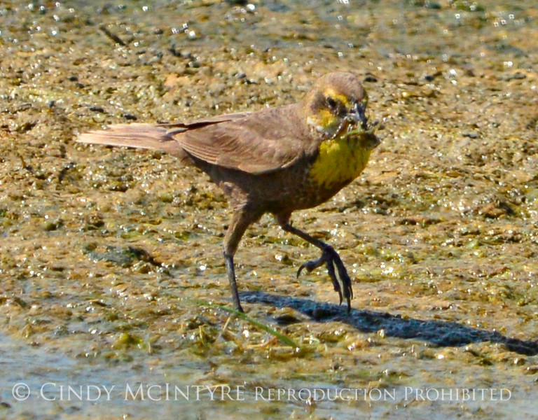 Yellow-headed blackbird female, Bear R NWR UT