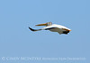 White pelican in flight, Bear River NWR UT (2)