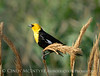 Yellow-headed blackbird male, Bear R NWR UT (4)