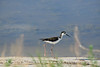 Black-necked stilt, Bear R NWR UT (4)