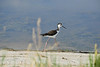 Black-necked stilt, Bear R NWR UT (5)