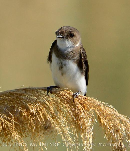 Bank Swallow, Bear River NWR UT